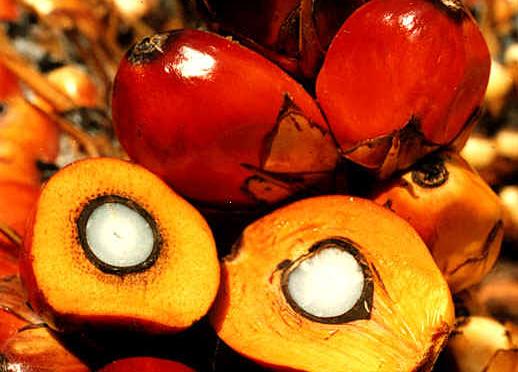 castanhas de dendê em close, com uma castanha aberta ao meio em primeiro plano, mostrando o contraste entre a polpa alaranjada e o núcleo branco. Foto por Daniela Collares
